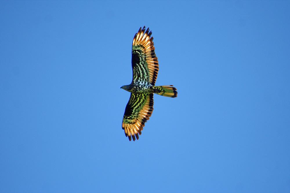 Orme sul Sentiero: il Falco pecchiaiolo e il ponte della fauna in Calabria