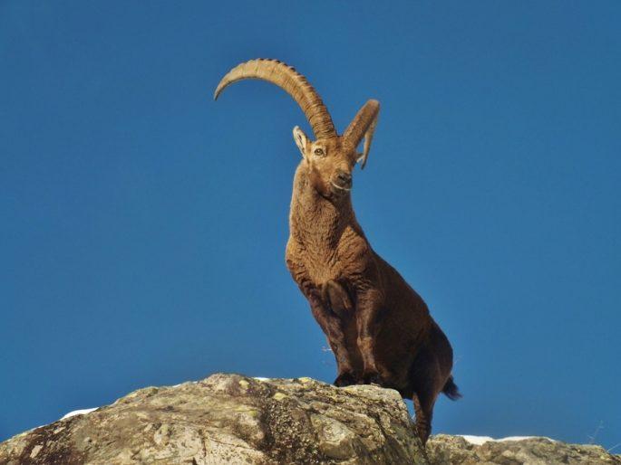 Lo stambecco, Fauna alpina, Sentiero Italia CAI