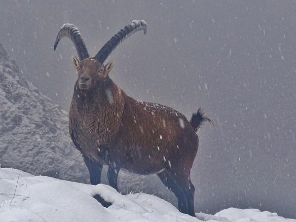 Orme sul Sentiero: lo Stambecco, re della fauna alpina