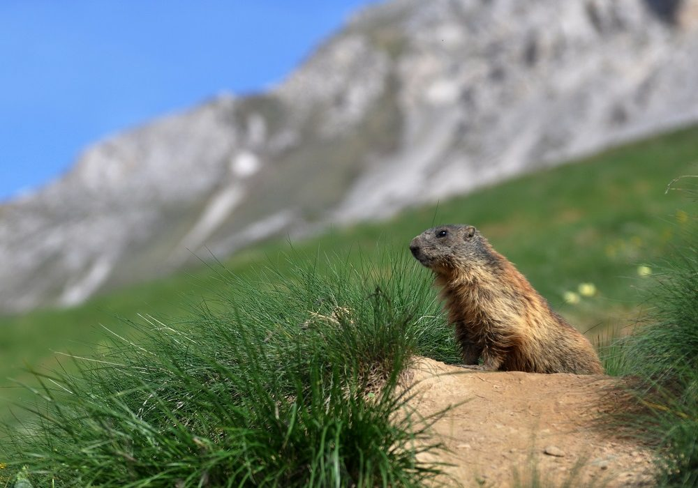 Orme sul sentiero, la marmotta