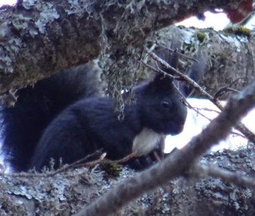 Orme sul sentiero: lo scoiattolo nero meridionale