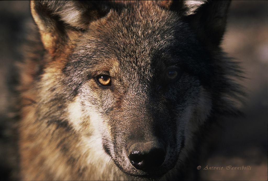 Orme sul Sentiero, il lupo