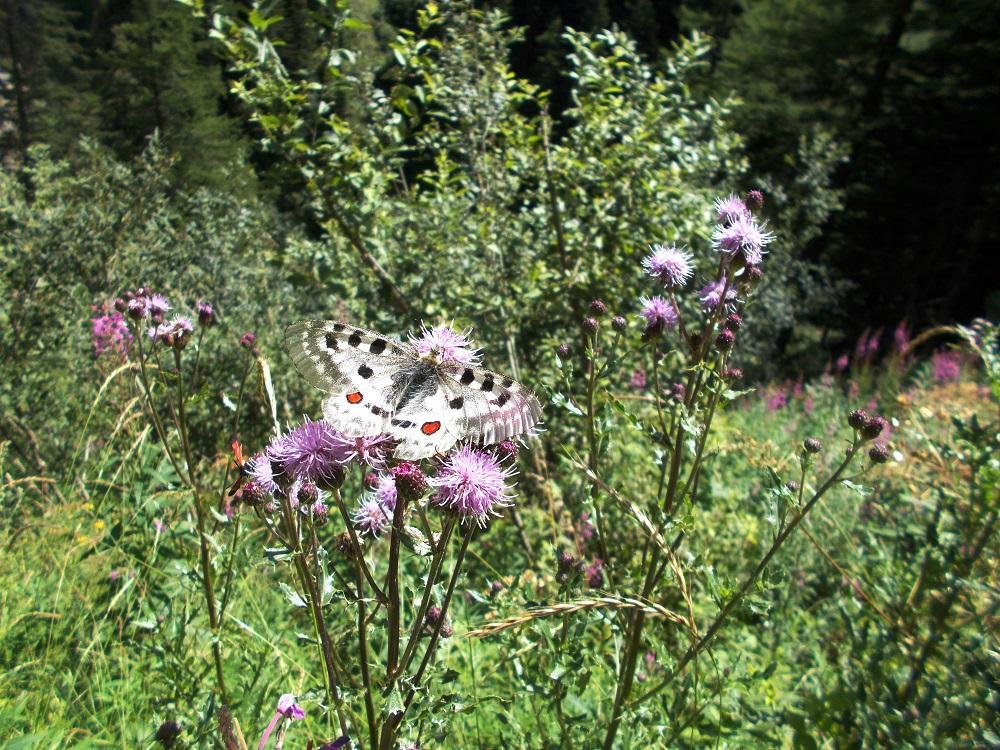 Orme sul Sentiero, dieci anni fa il presidente Cervi trovò la farfalla Apollo