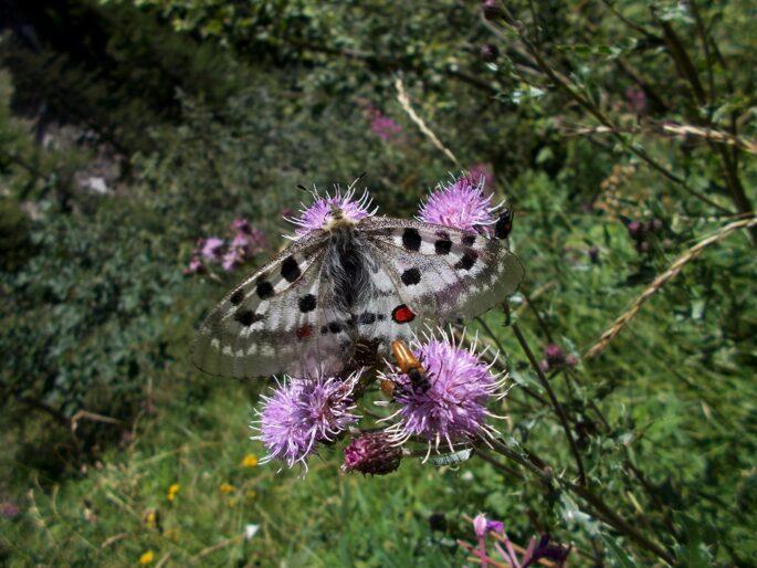 farfalla apollo, Sentiero Italia CAI